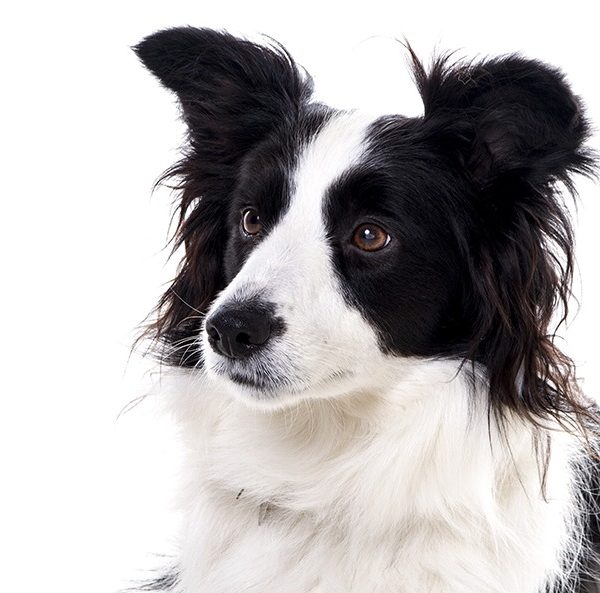 border collie studio