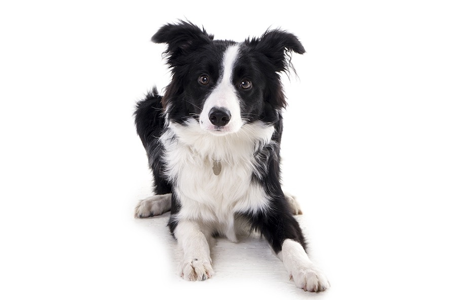 border collie studio portrait