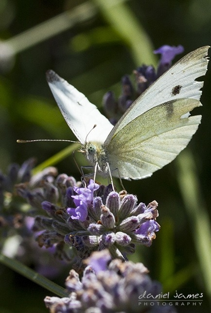 cabbage white butterfly lavender