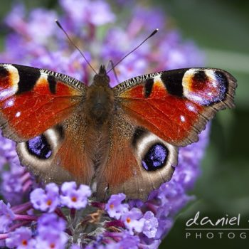 peacock butterfly macro on lavender
