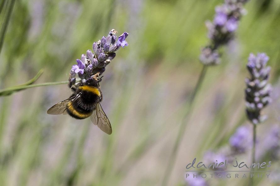 bee macro on lavender