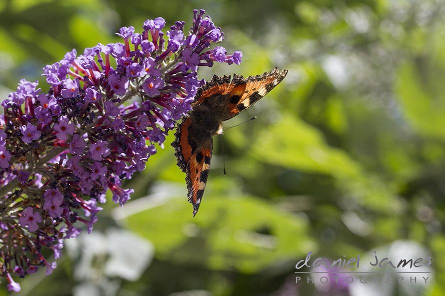 butterfly macro on lavender