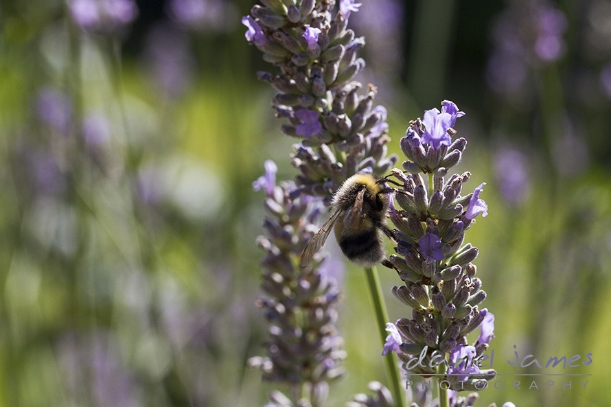 bee macro lavender flower