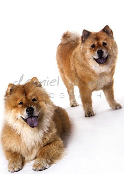 pet portrait wolverhampton