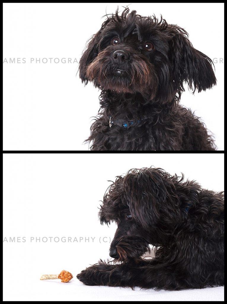 pet portrait photography dudley