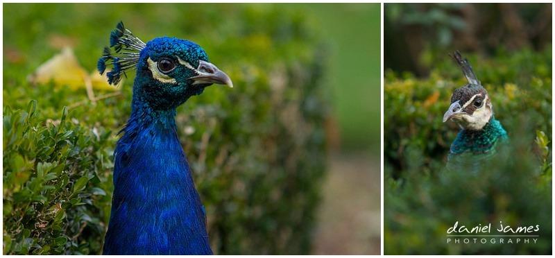 peacocks warwick castle