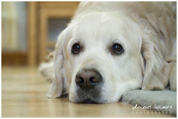 white golden retriever dog watching tv
