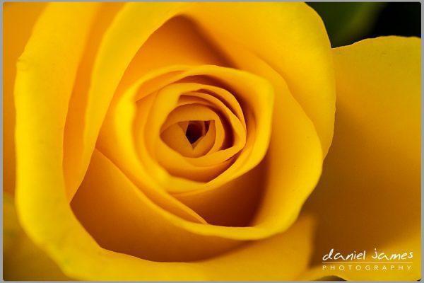 yellow rose macro nature flower plant