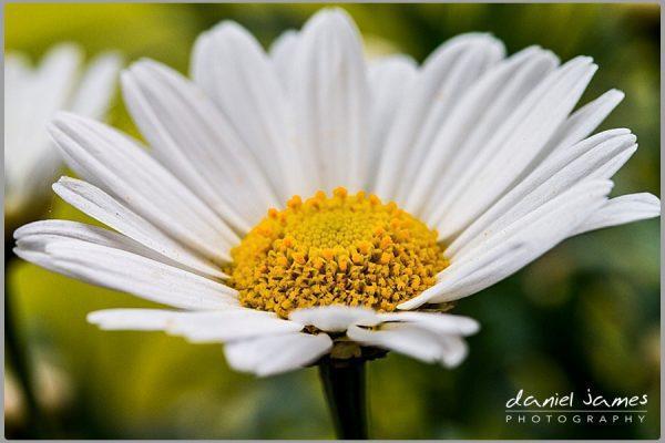 daisy macro nature flower plant