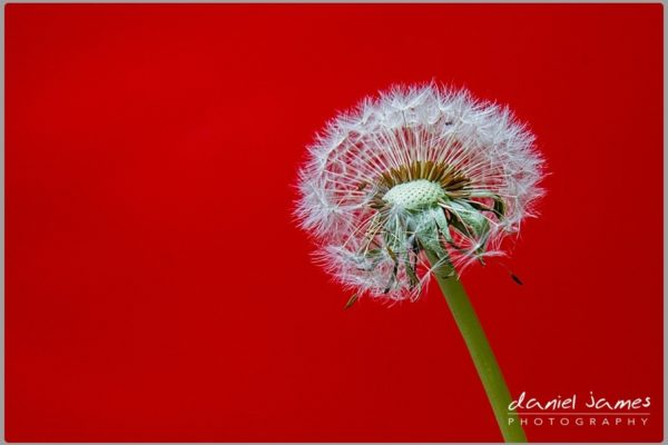 dandelion red flower background