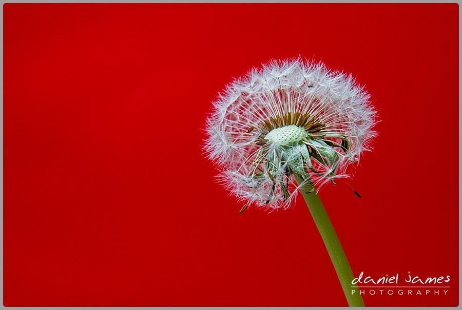 dandelion red flower background