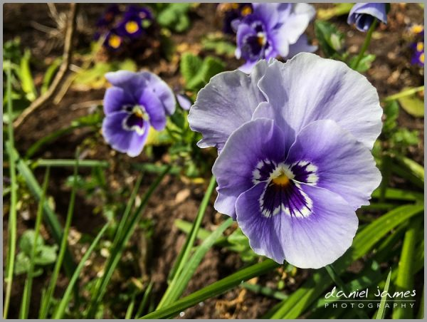 pansy flower nature