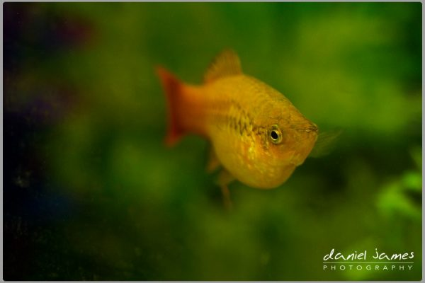orange patty fish pet aquarium