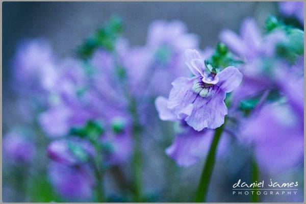 lavender purple flower macro