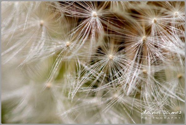 dandelion macro