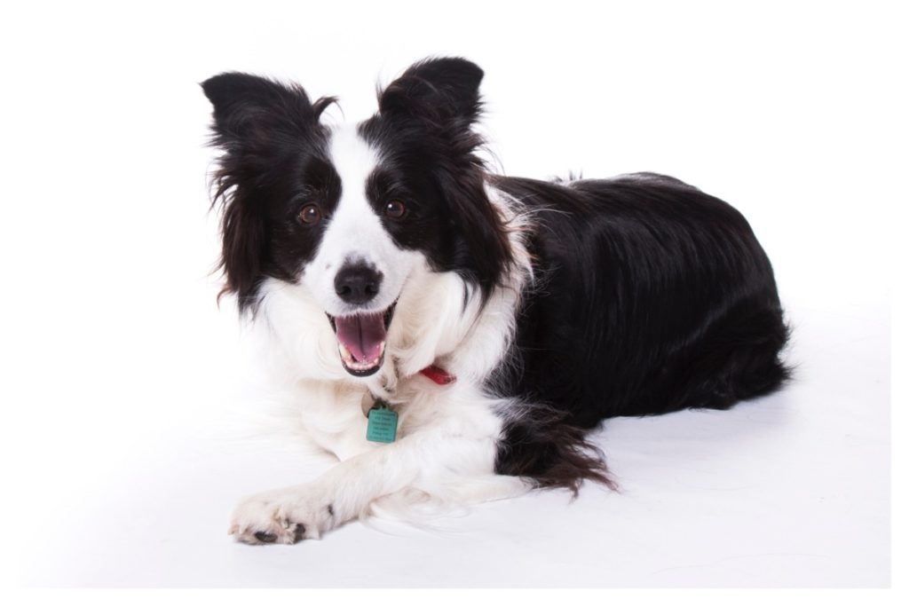 collie pet photo shoot